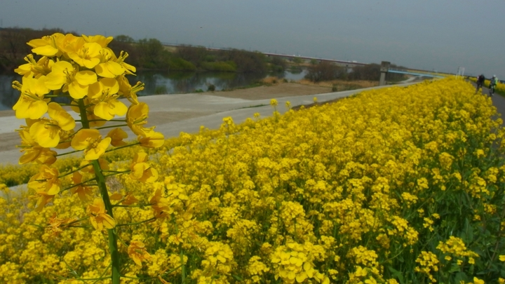 江戸川の菜の花.JPG